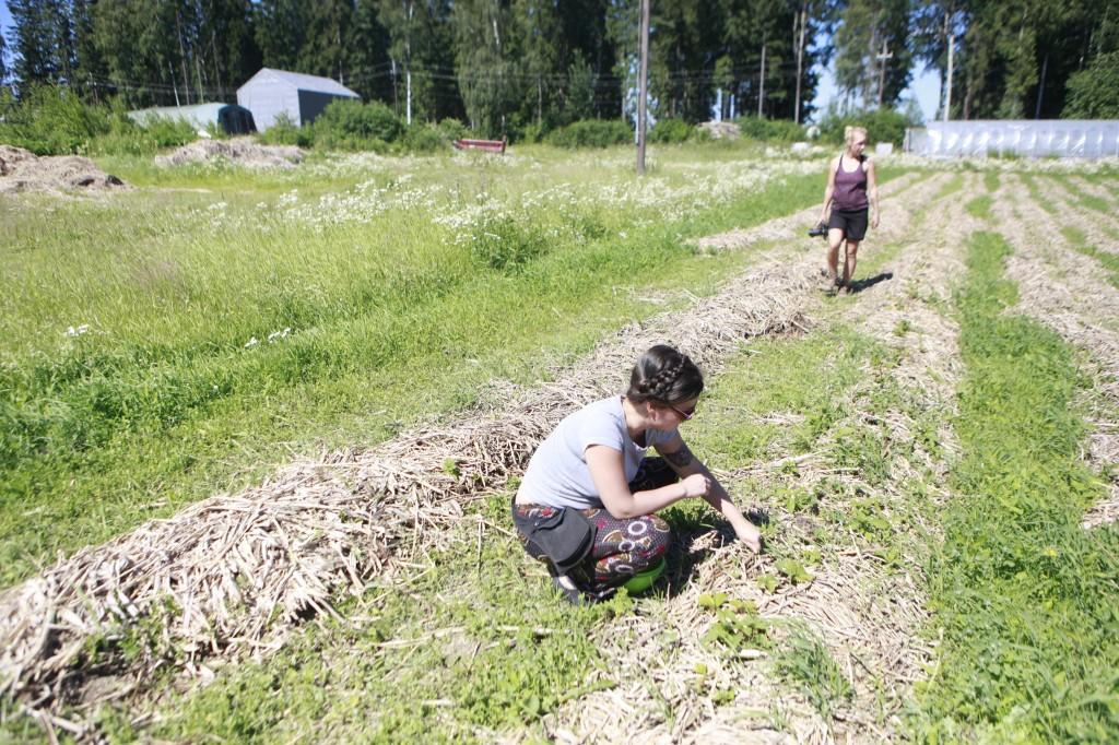 Ulla ja Teija tyhjentävät mansikkamaata.