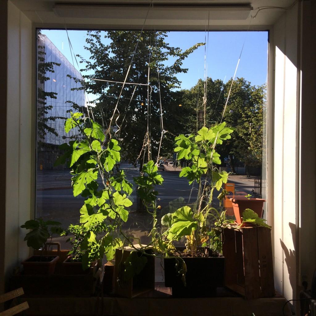 Ikkunalla kasvaa kesäkurpitsa, joka menee fiinimmästäkin viherkasvista.