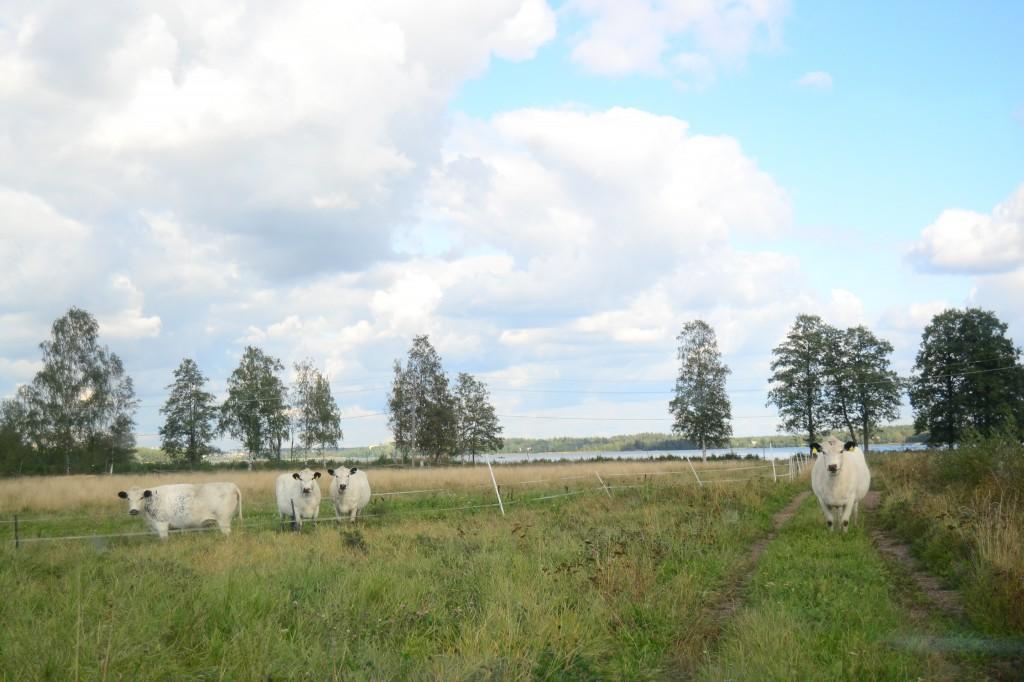 lehmä_karkasi_laitumelta!